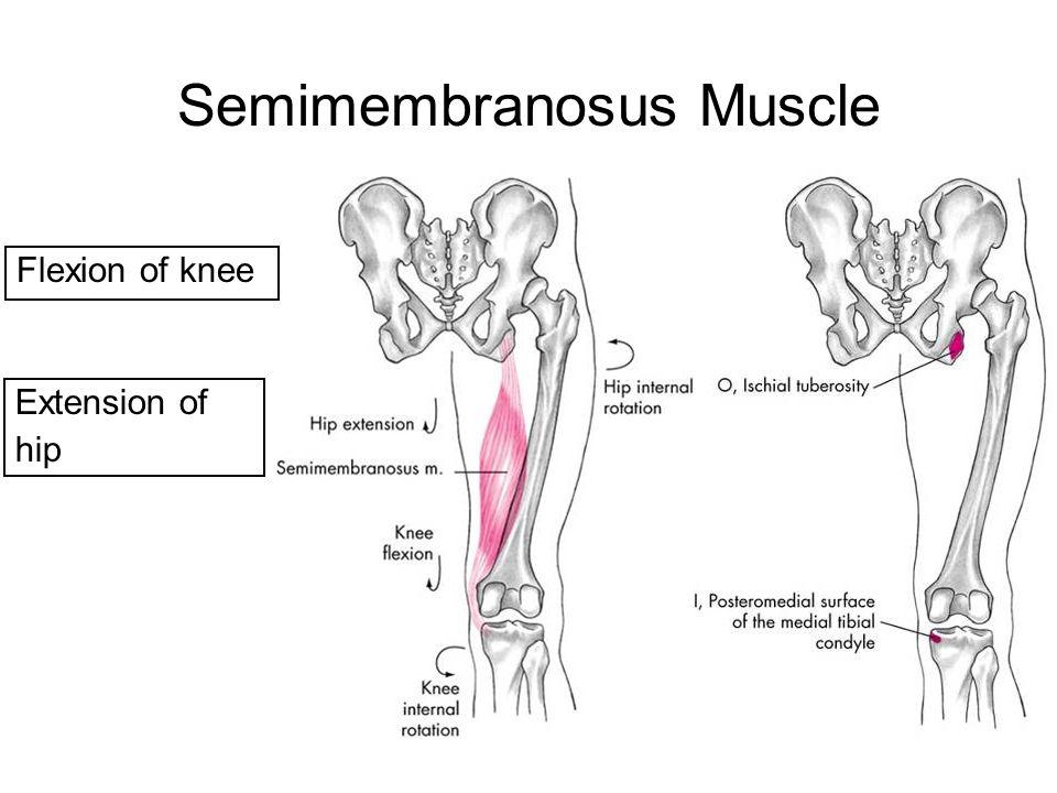 Semimembranosus Muscle