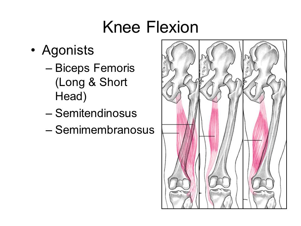 Knee Flexion Agonists Biceps Femoris (Long & Short Head)