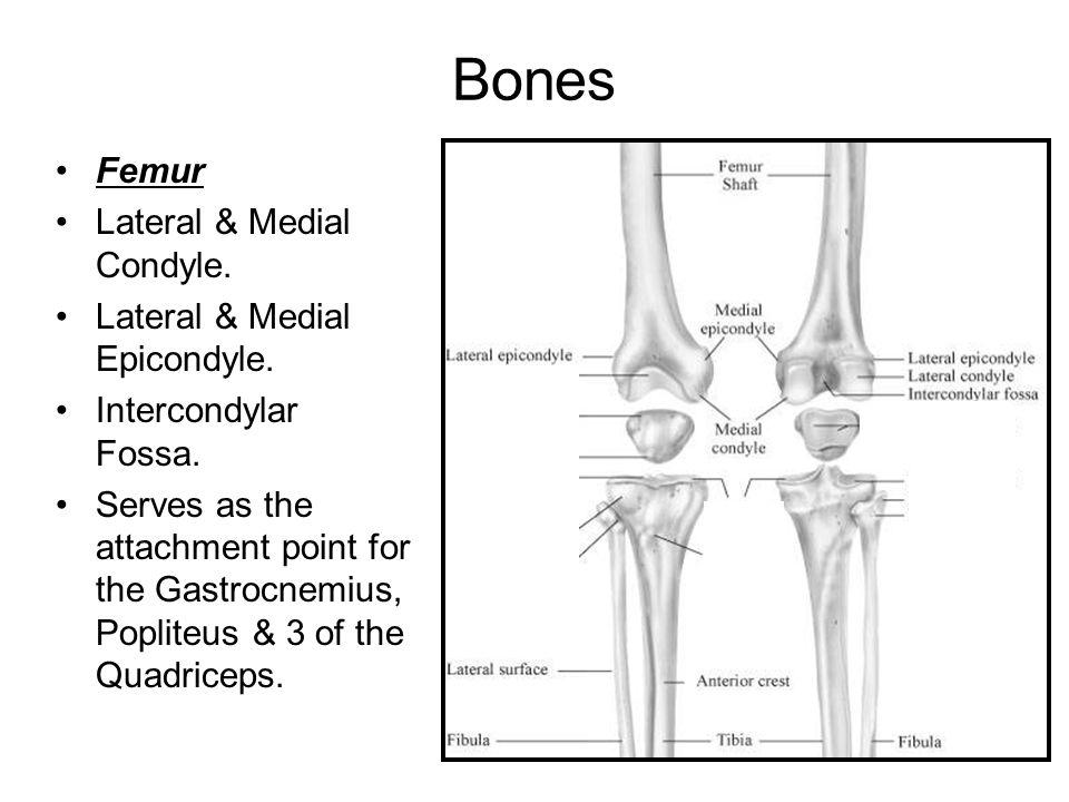 Bones Femur Lateral & Medial Condyle. Lateral & Medial Epicondyle.