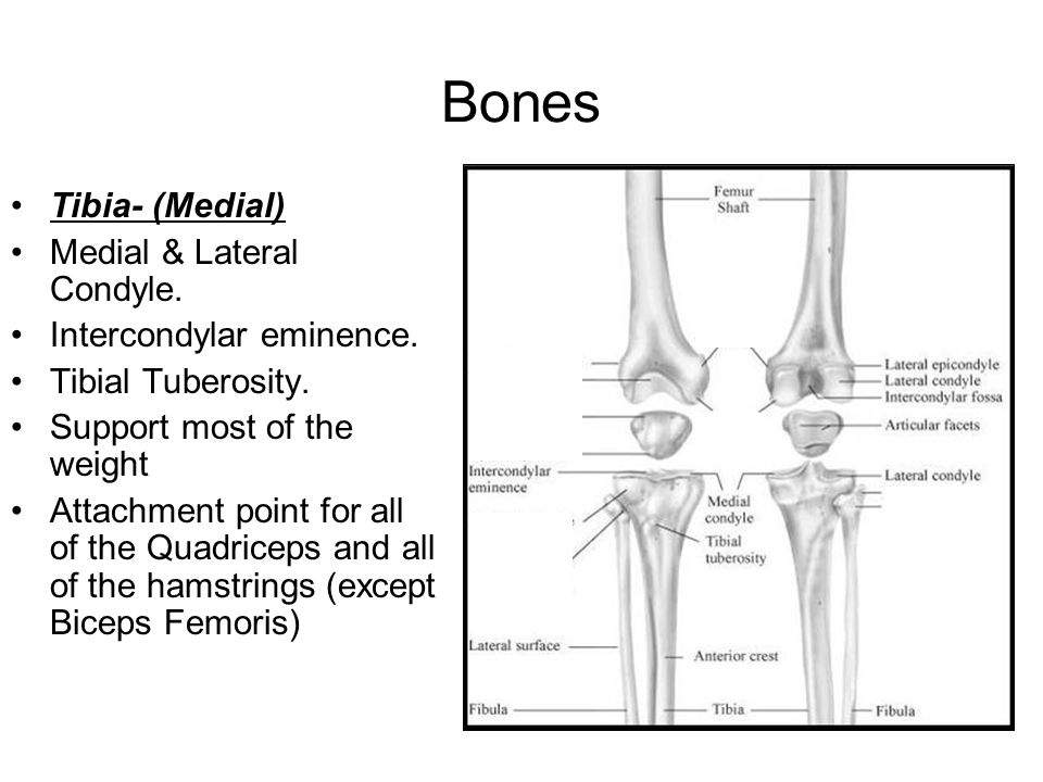 Bones Tibia- (Medial) Medial & Lateral Condyle.