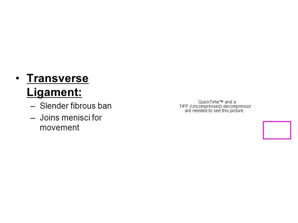Transverse Ligament: Slender fibrous ban Joins menisci for movement