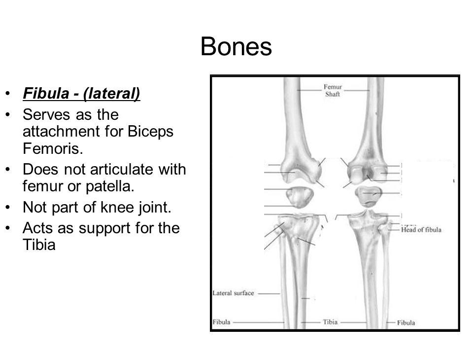Bones Fibula - (lateral) Serves as the attachment for Biceps Femoris.
