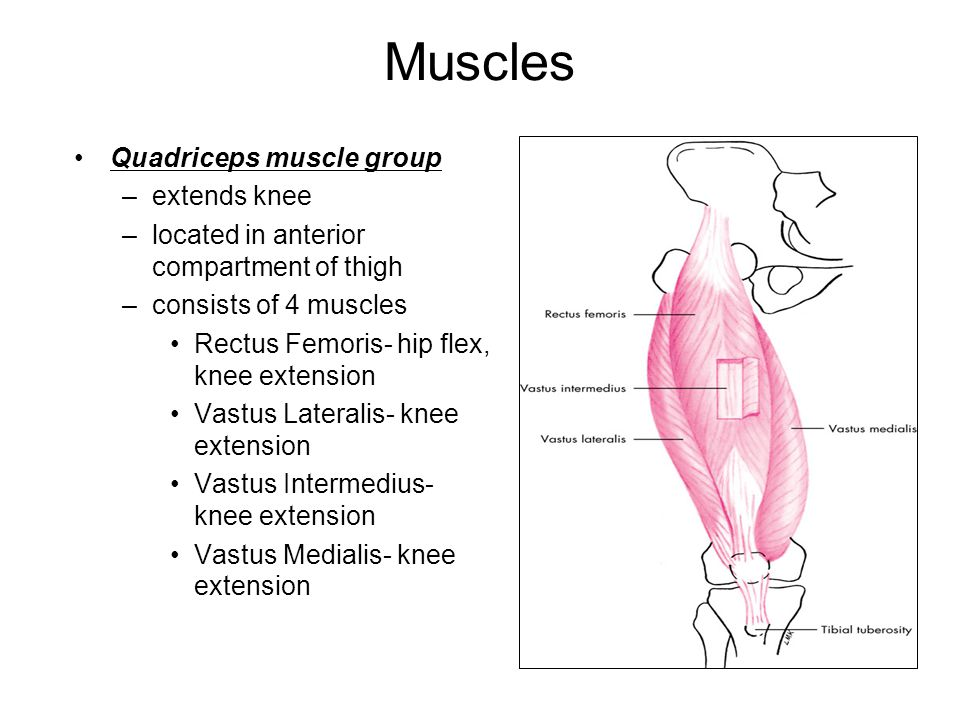 Outstanding Muscle Group That Extends The Knee Vignette - Anatomy ...
