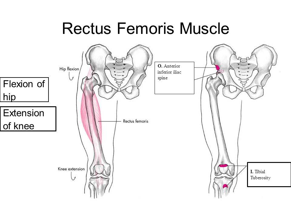 Rectus Femoris Muscle Flexion of hip Extension of knee 9