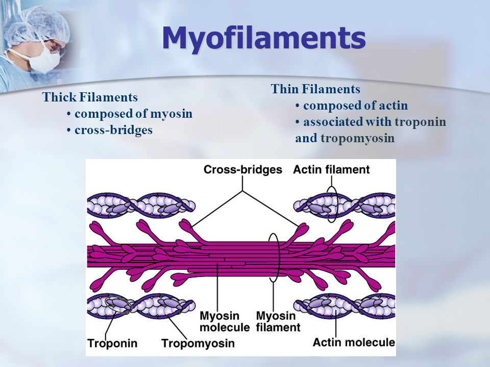 Myofilaments Thin Filaments composed of actin