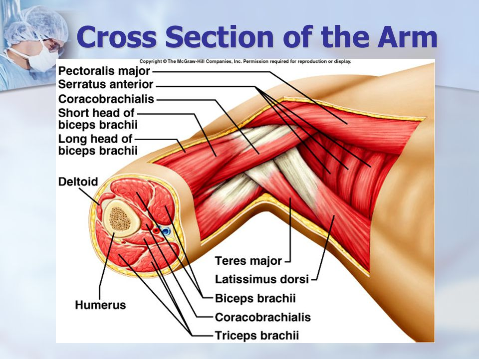 Cross Section of the Arm