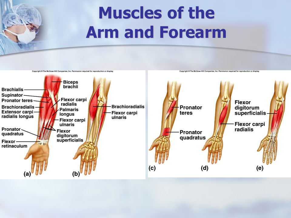 Muscles of the Arm and Forearm