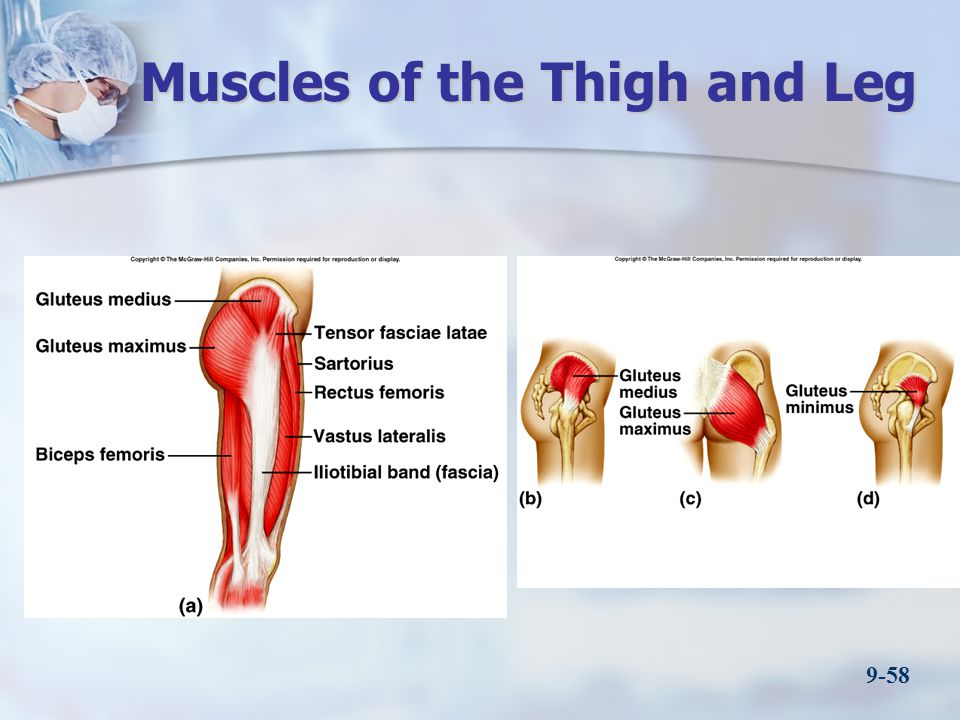 Muscles of the Thigh and Leg