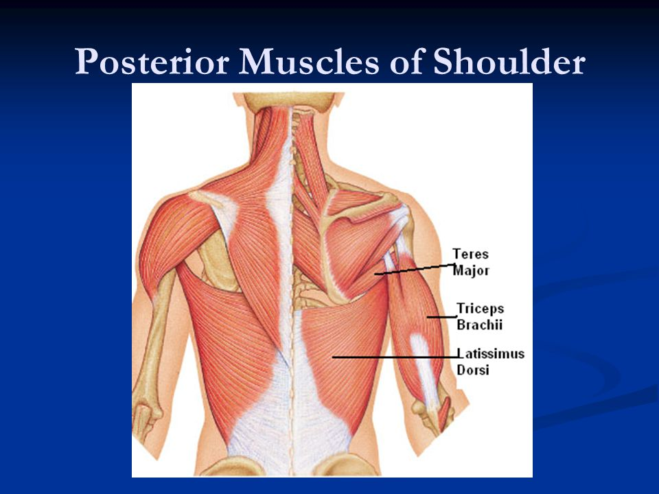 Posterior Muscles of Shoulder