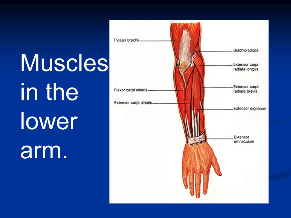 Muscles in the lower arm.