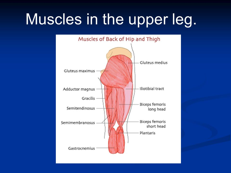 Muscles in the upper leg.
