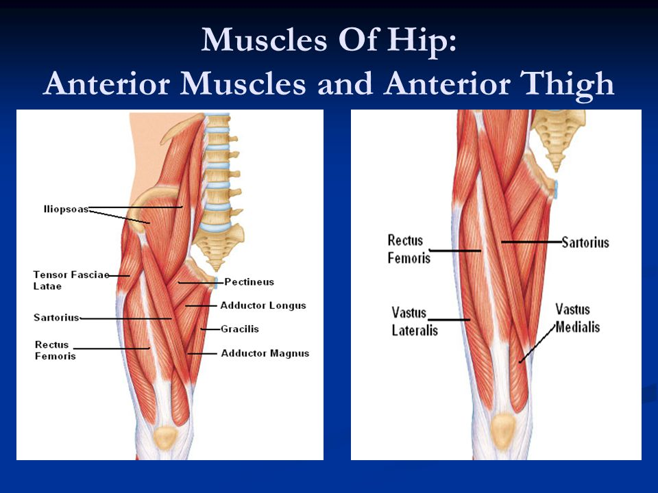 Muscles Of Hip: Anterior Muscles and Anterior Thigh