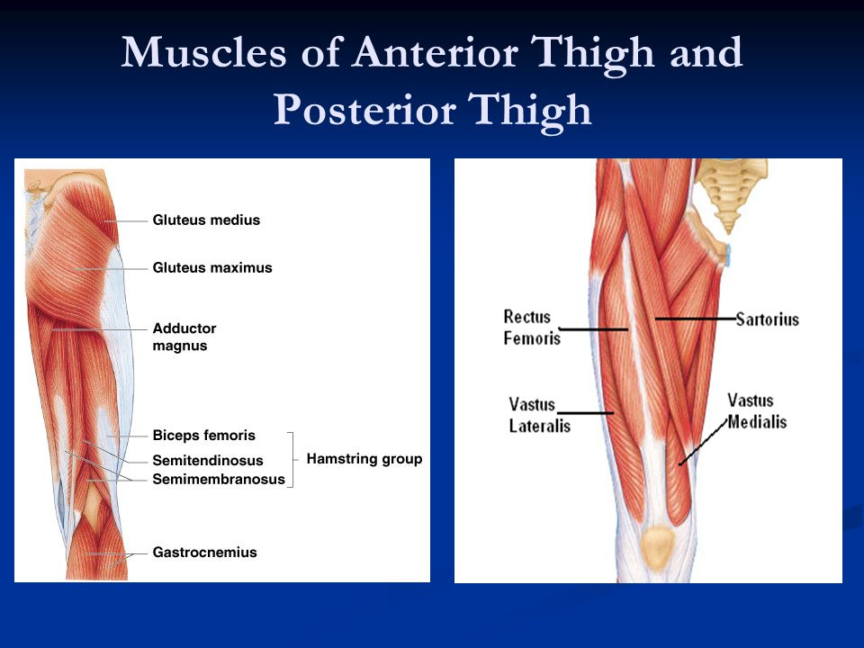 Muscles of Anterior Thigh and Posterior Thigh