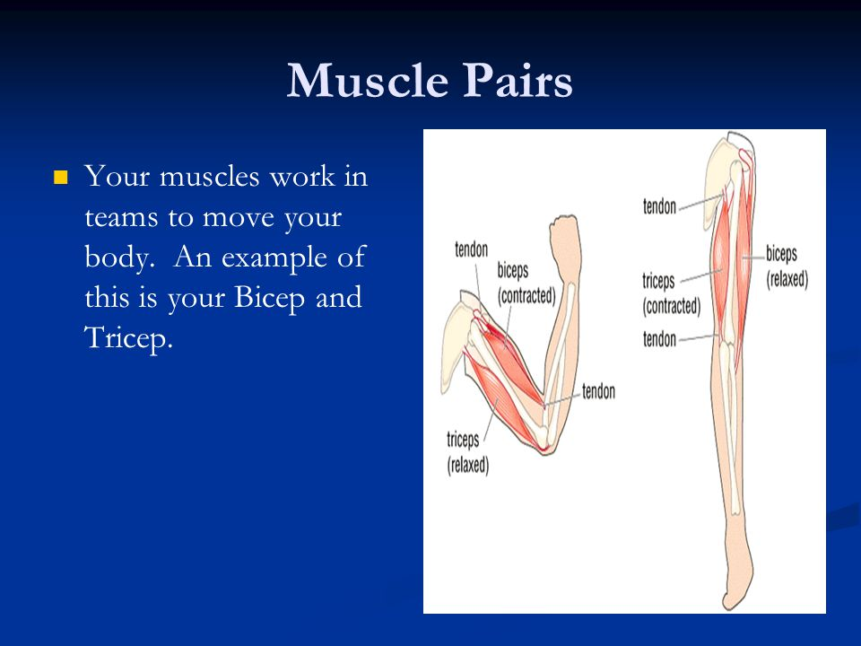 Muscle Pairs Your muscles work in teams to move your body.