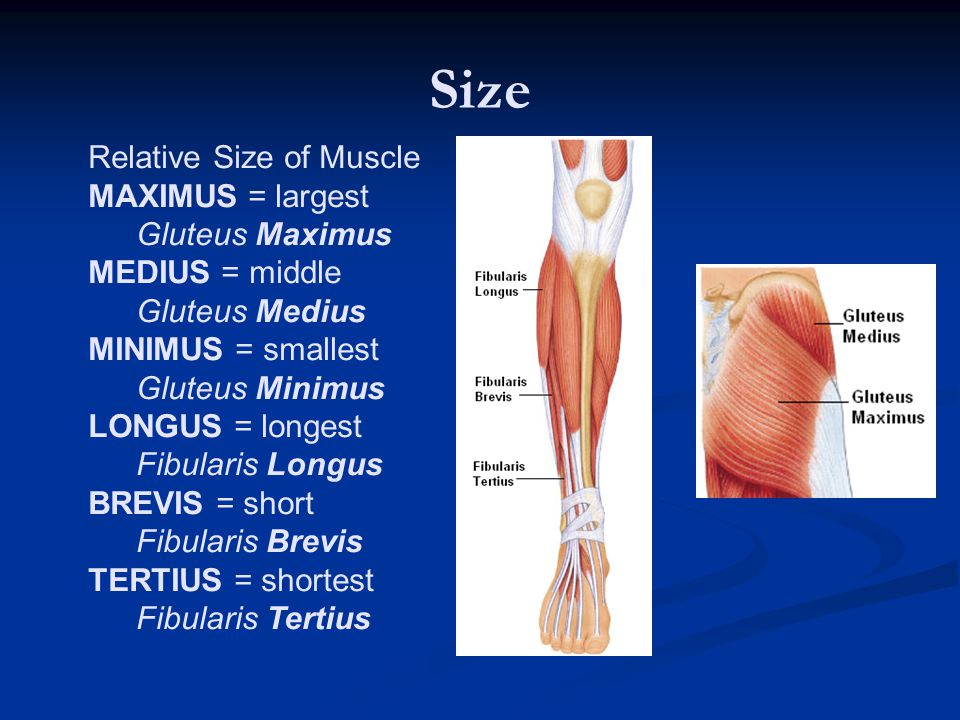 Size Relative Size of Muscle MAXIMUS = largest Gluteus Maximus