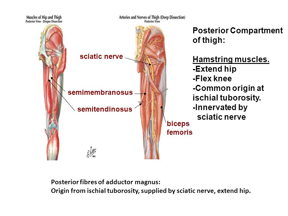 Posterior Compartment of thigh: Hamstring muscles. -Extend hip