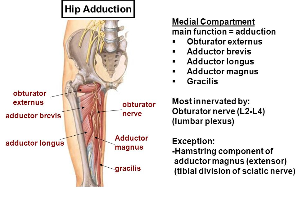 Hip Adduction Medial Compartment main function = adduction