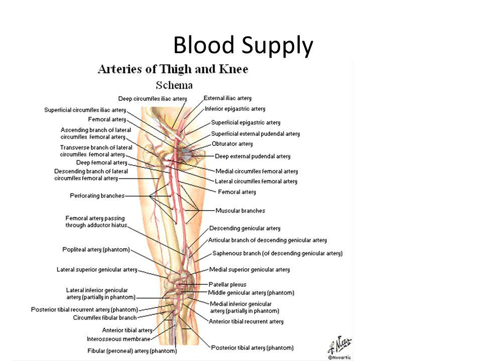Blood Supply