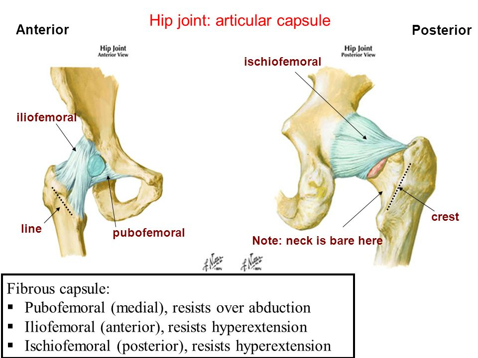 Hip joint: articular capsule