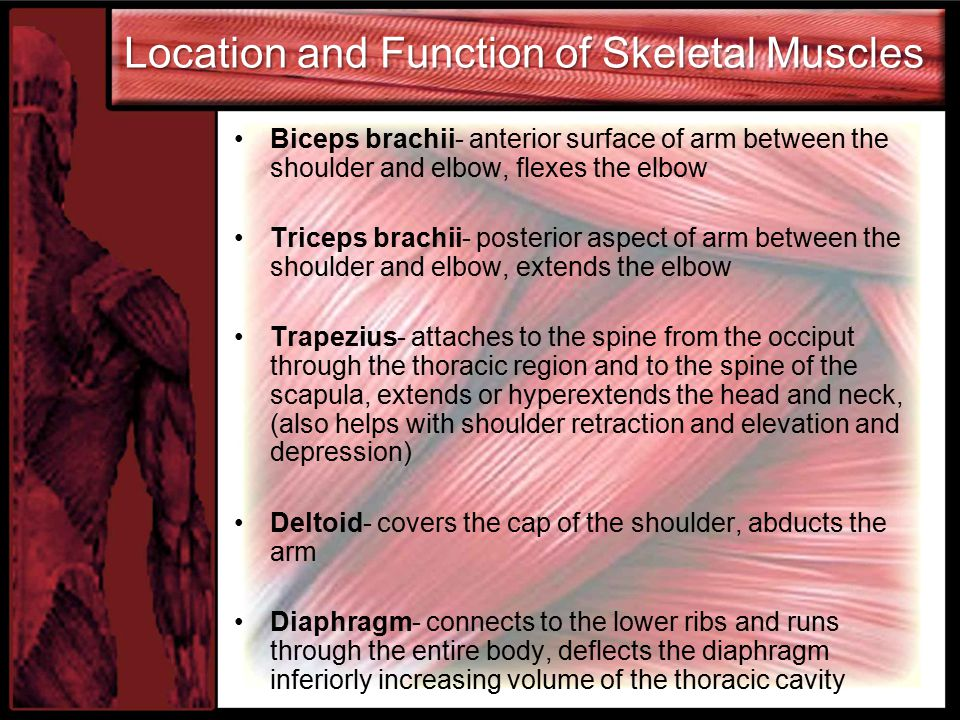 Location and Function of Skeletal Muscles