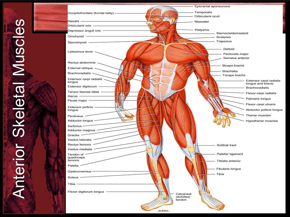 Anterior Skeletal Muscles