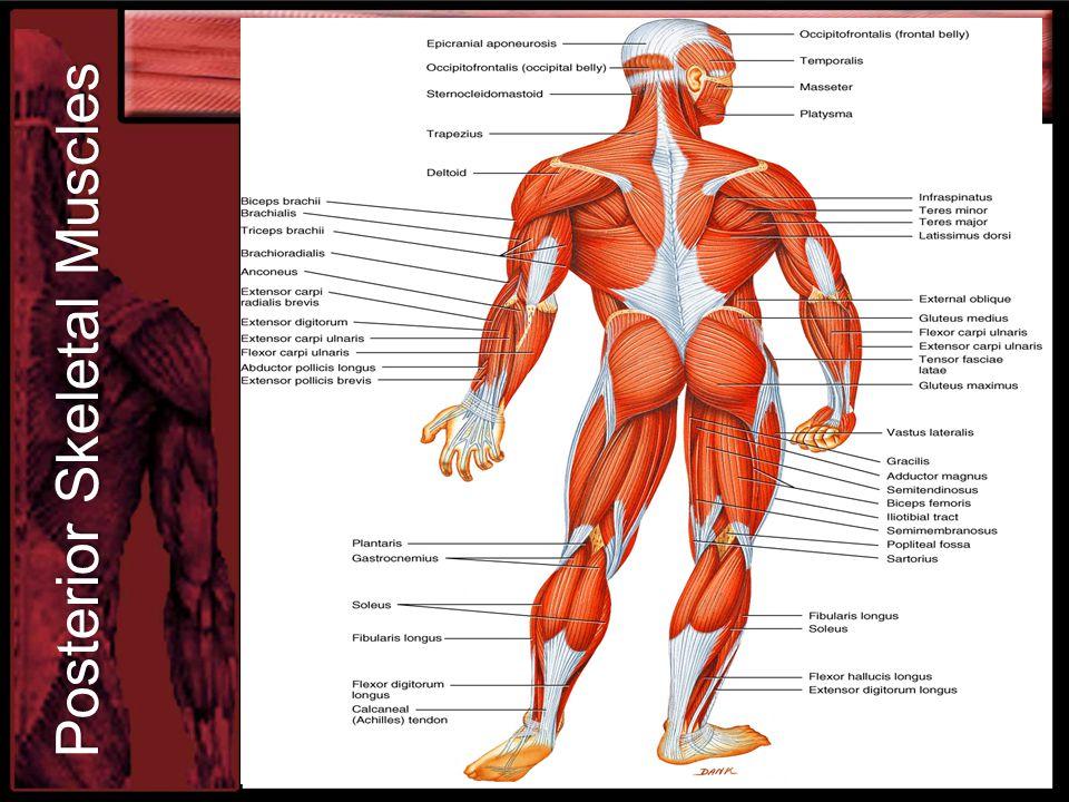 Posterior Skeletal Muscles