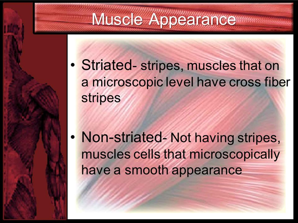 Muscle Appearance Striated- stripes, muscles that on a microscopic level have cross fiber stripes.