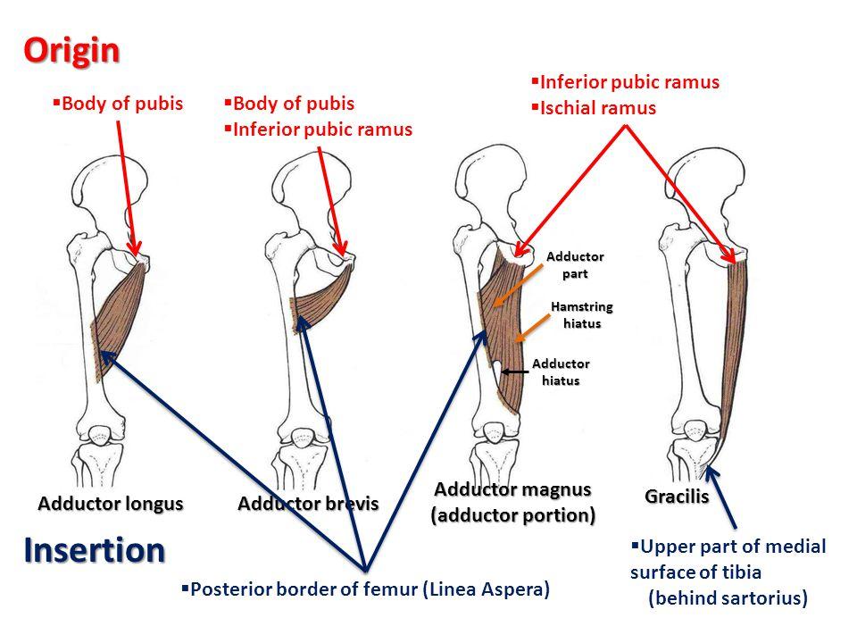 Origin Insertion Inferior pubic ramus Ischial ramus Body of pubis