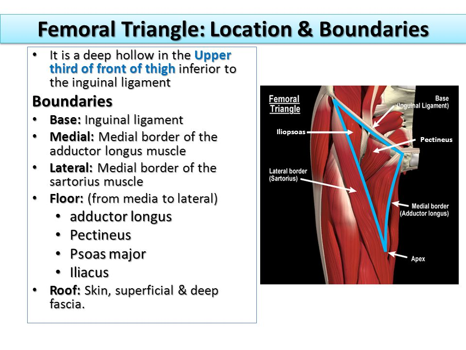 Femoral Triangle: Location & Boundaries