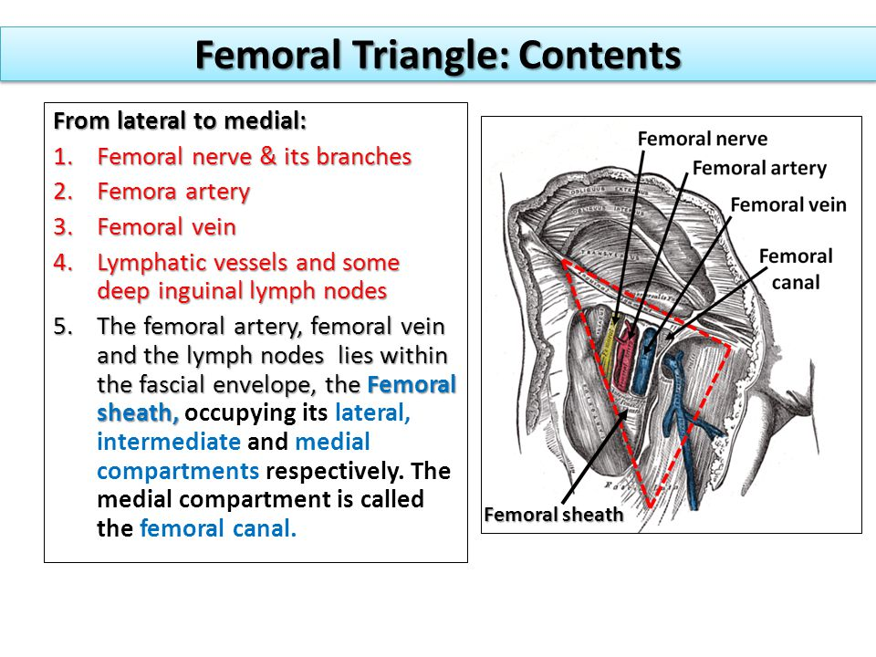 Femoral Triangle: Contents