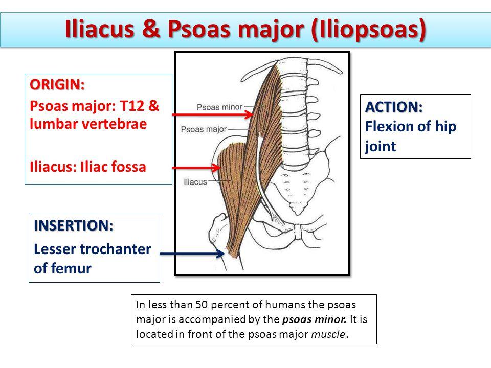 Iliacus & Psoas major (Iliopsoas)