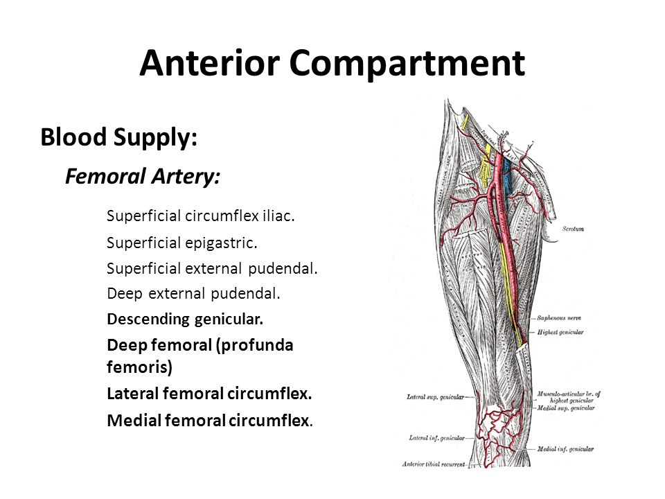 Anterior Compartment Blood Supply: Femoral Artery:
