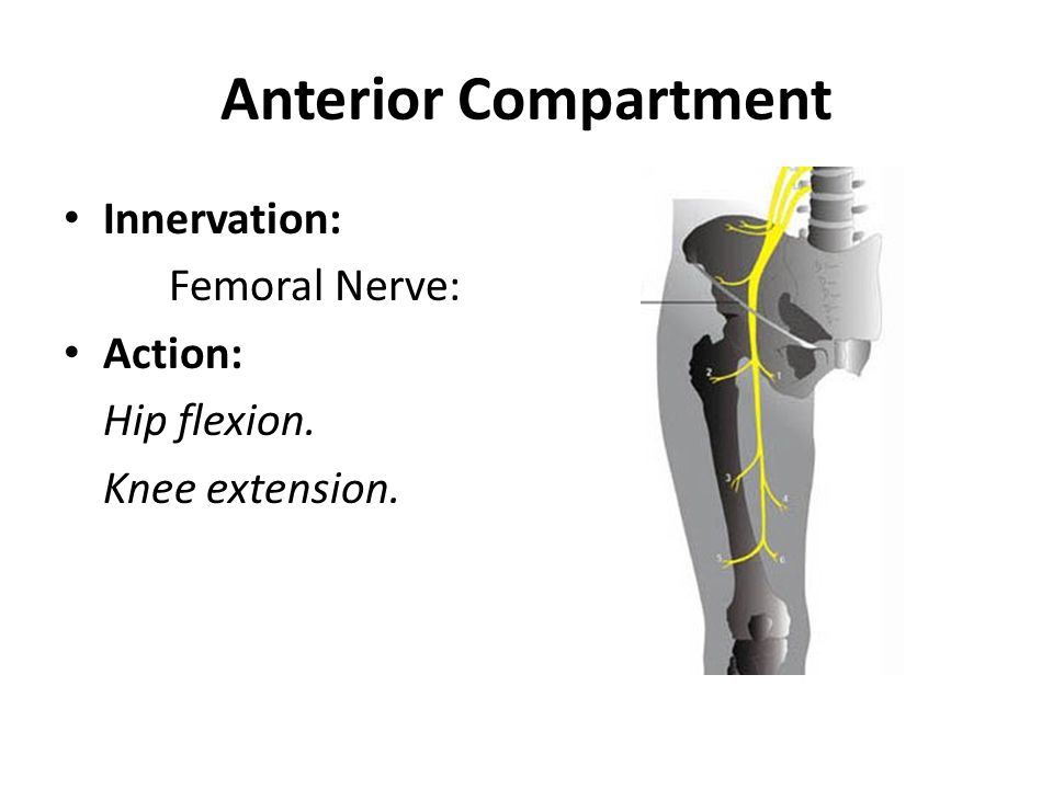 Anterior Compartment Innervation: Femoral Nerve: Action: Hip flexion.