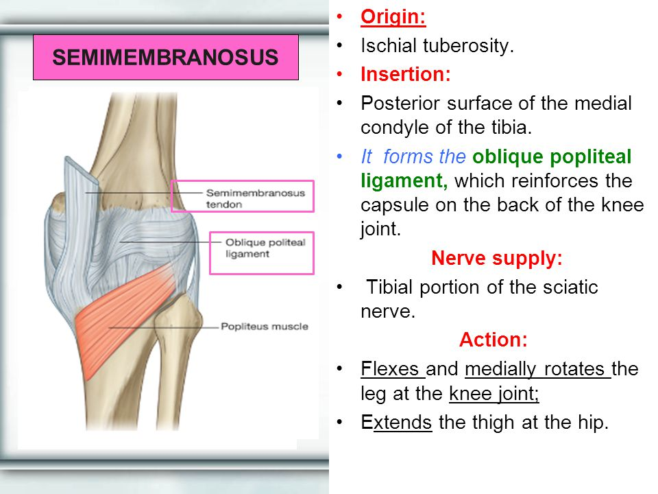 SEMIMEMBRANOSUS Origin: Ischial tuberosity. Insertion: