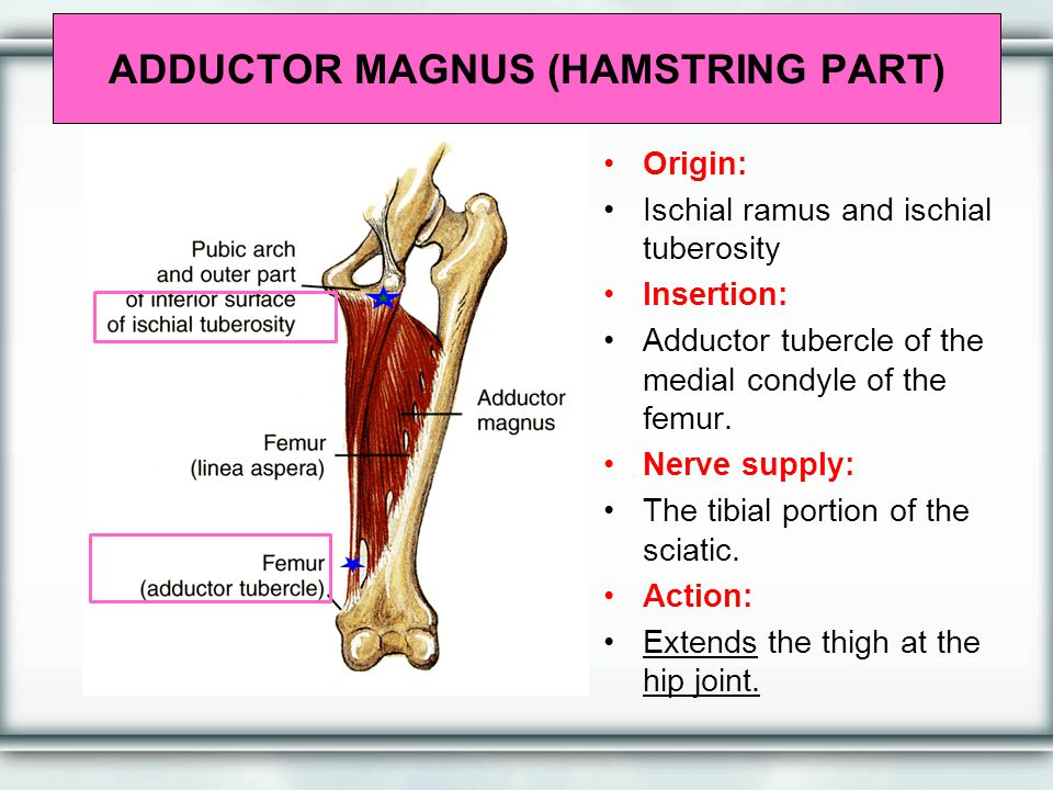 ADDUCTOR MAGNUS (HAMSTRING PART)