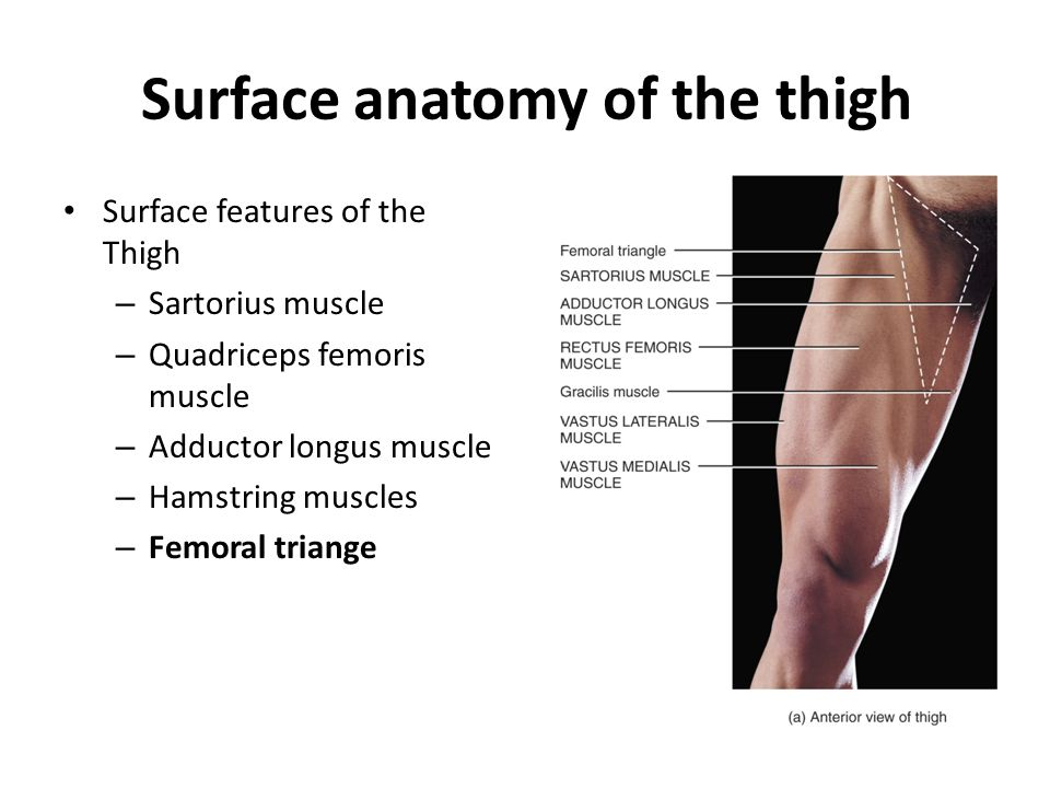 Surface anatomy of the thigh