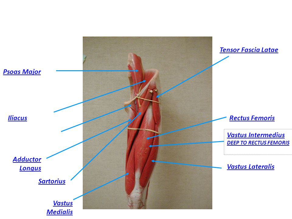 Tensor Fascia Latae Psoas Major. Iliacus. Rectus Femoris. Vastus Intermedius DEEP TO RECTUS FEMORIS.