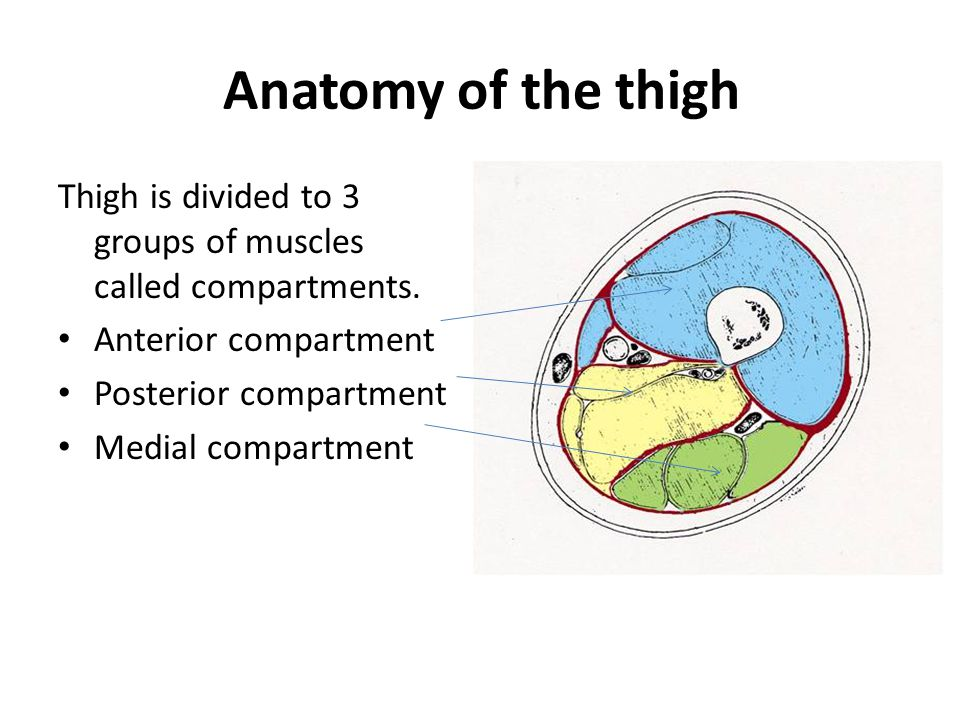 Anatomy of the thigh Thigh is divided to 3 groups of muscles called compartments. Anterior compartment.