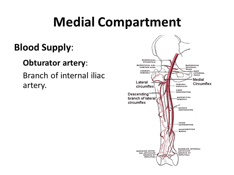 Medial Compartment Obturator artery: Blood Supply: