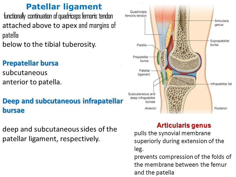 functionally continuation of quadriceps femoris tendon