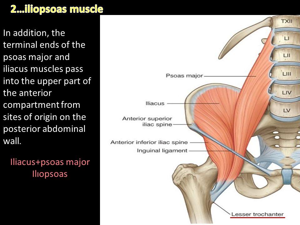 2…iliopsoas muscle