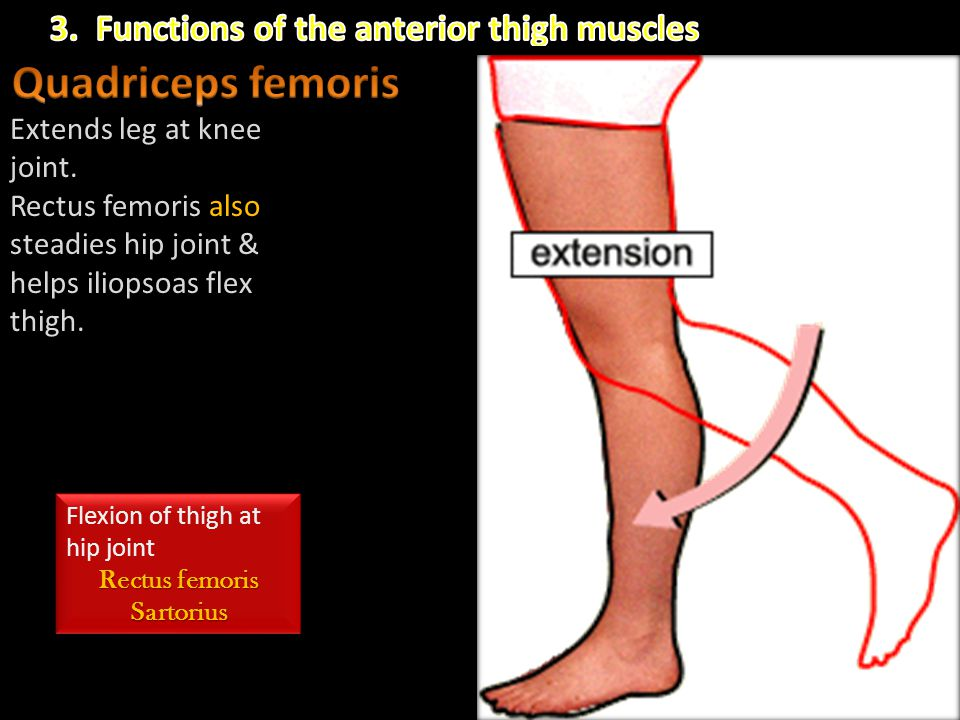 Quadriceps femoris 3. Functions of the anterior thigh muscles