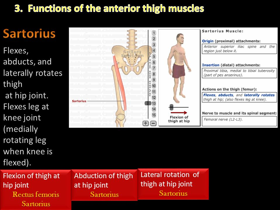 Sartorius 3. Functions of the anterior thigh muscles