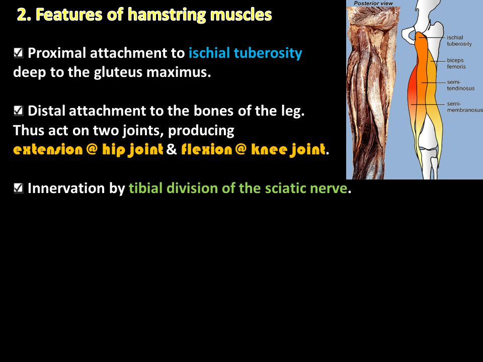 2. Features of hamstring muscles