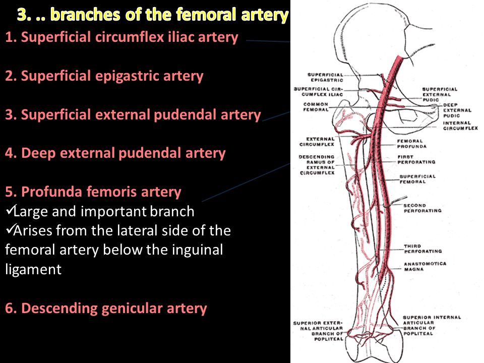 3. .. branches of the femoral artery