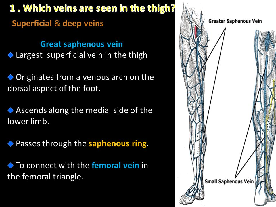 1 . Which veins are seen in the thigh