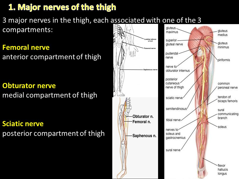 1. Major nerves of the thigh