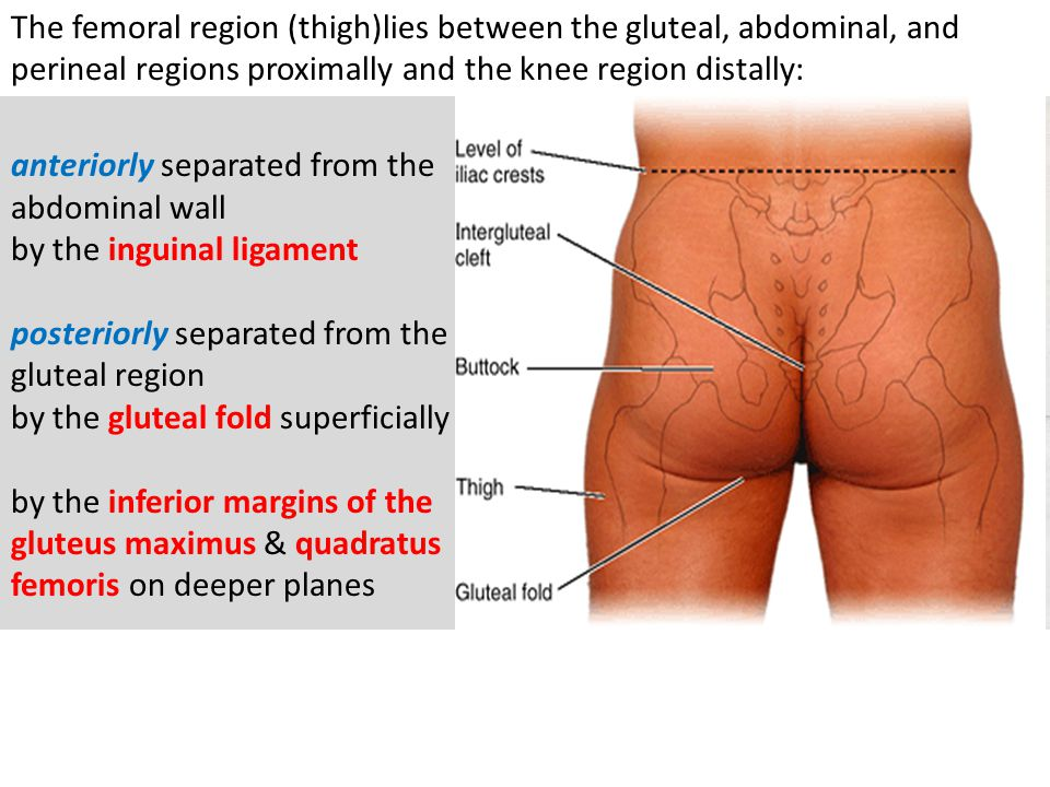 The femoral region (thigh)lies between the gluteal, abdominal, and perineal regions proximally and the knee region distally: