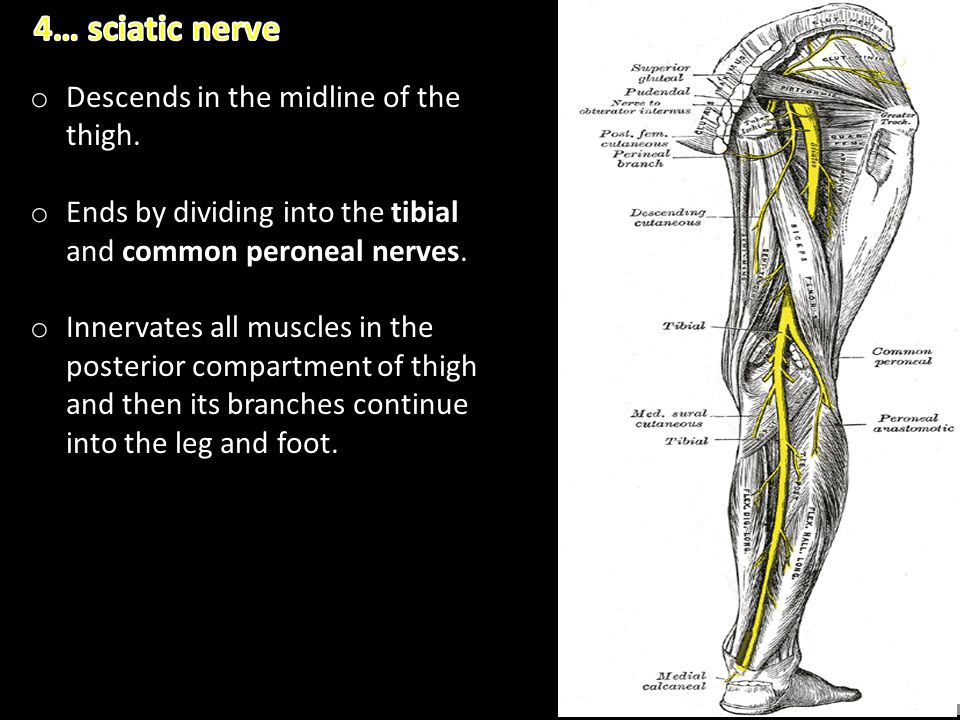 4… sciatic nerve Descends in the midline of the thigh.