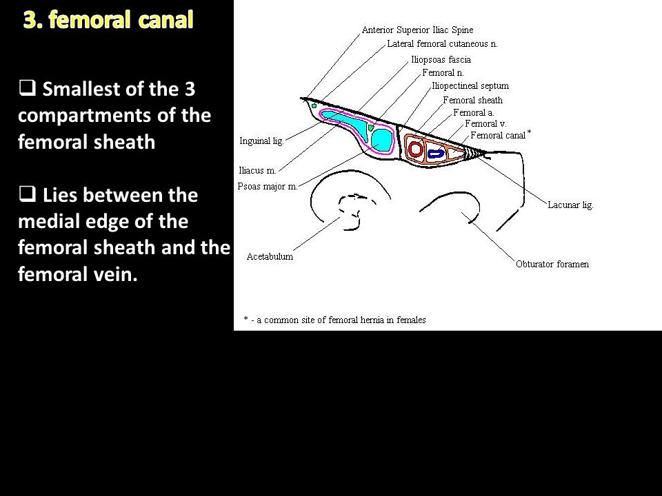 3. femoral canal Smallest of the 3 compartments of the femoral sheath